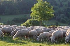 Moltitudine di pecore nelle montagne di Taunus Fotografie Stock