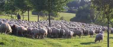 Moltitudine di pecore nelle montagne di Taunus Immagini Stock