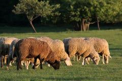 Moltitudine di pecore nelle montagne di Taunus Fotografie Stock Libere da Diritti