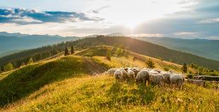 Moltitudine di pecore nelle montagne sui precedenti di tramonto Immagini Stock Libere da Diritti