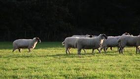 Moltitudine di pecore o di agnelli che pascono sull'erba nel campo inglese dell'azienda agricola della campagna, Inghilterra stock footage