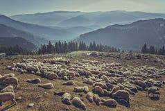 Moltitudine di pecore in ovile Fotografia Stock Libera da Diritti