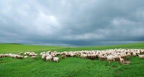 Moltitudine di pecore sotto la nuvola scura Fotografia Stock