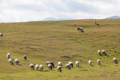 Moltitudine di pecore su erba verde Fotografia Stock Libera da Diritti