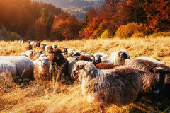 Moltitudine di pecore sul bello prato della montagna Fotografie Stock Libere da Diritti