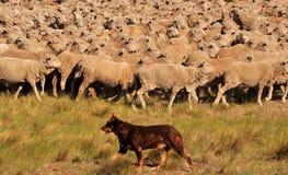 Moltitudine di pecore sul movimento con i cani che fanno l'azionamento Immagini Stock