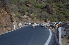 Moltitudine di pecore sulla strada Fotografia Stock