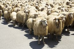 Moltitudine di pecore sulla strada principale Fotografie Stock Libere da Diritti
