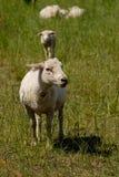 Moltitudine di pecore svizzere bianche che si levano in piedi all'aperto Fotografia Stock Libera da Diritti