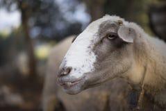 Moltitudine di pecore turche che pascono Fotografie Stock
