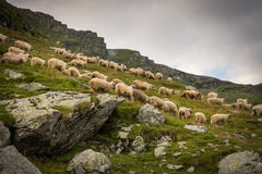 Moltitudine di pecore in un prato nelle montagne della Romania fotografie stock libere da diritti
