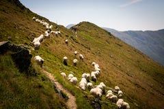 Moltitudine di pecore in un prato nelle montagne in Romania immagine stock