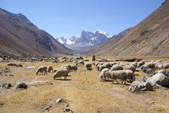 Moltitudine di pecore in vasta valle Fotografia Stock
