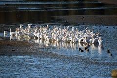 Moltitudine di pellicani bianchi Fotografie Stock Libere da Diritti