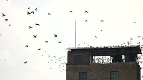 Moltitudine di piccione sul tetto archivi video