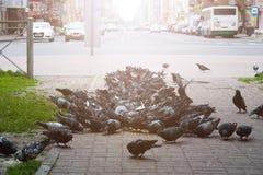 Moltitudine di piccioni che mangiano grano fuori un giorno soleggiato Fotografia Stock