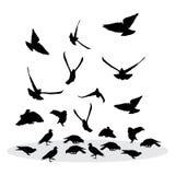 Moltitudine di piccioni d'alimentazione Siluetta di vettore Immagini Stock Libere da Diritti