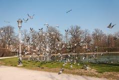 Moltitudine di piccioni in parco Fotografia Stock Libera da Diritti