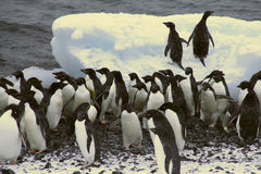 Moltitudine di pinguini del Adelie Fotografie Stock