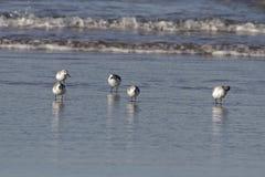 Moltitudine di riflessione di sanderling Immagini Stock