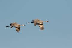 Moltitudine di Sandhill Crain in volo fotografia stock libera da diritti