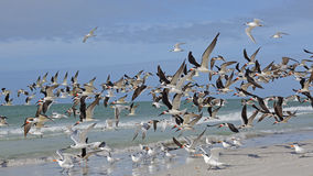 Moltitudine di scrematrici nere che prendono volo - Florida Immagini Stock Libere da Diritti