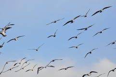 Moltitudine di seaguls Fotografia Stock Libera da Diritti
