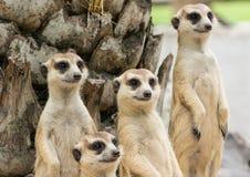 Moltitudine di Suricate o di Meerkat (suricatta del Suricata) Fotografia Stock Libera da Diritti