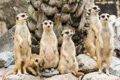 Moltitudine di Suricate o di Meerkat (suricatta del Suricata) Immagine Stock Libera da Diritti