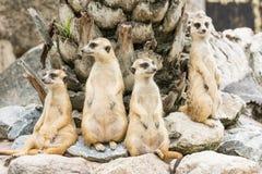 Moltitudine di Suricate o di Meerkat (suricatta del Suricata) Fotografie Stock Libere da Diritti