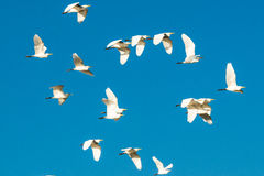 Moltitudine di uccelli nel cielo blu fotografia stock