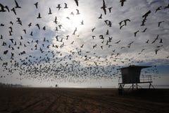 Moltitudine di uccelli sopra la spiaggia Immagine Stock