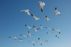 Moltitudine di volata dei gabbiani di mare Fotografia Stock Libera da Diritti