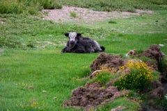 Moltitudine di yak al TSO Moriri in Ladakh, India Fotografia Stock Libera da Diritti