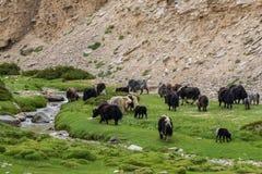 Moltitudine di yak in Ladakh, India Immagini Stock Libere da Diritti