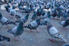 Moltitudine gigante di Barcellona di piccioni Fotografia Stock