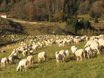 Moltitudine immensa di agnelli e di capre delle pecore che pascono Fotografie Stock
