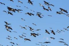 Moltitudine massiccia di gru di Sandhill durante la migrazione annuale Nea fotografie stock