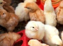 Moltitudine mista di pulcini puri della razza Fotografia Stock Libera da Diritti