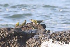 Moltitudini dal ventre bianco del verde-piccione fotografia stock libera da diritti
