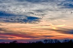 Moltitudini di migrazione delle oche al tramonto Fotografia Stock Libera da Diritti