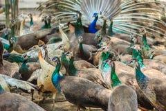 Moltitudini di pavone nell'azienda agricola di allevamento Una moltitudine di peafow indiano Fotografia Stock Libera da Diritti