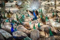 Moltitudini di pavone nell'azienda agricola di allevamento Una moltitudine di peafow indiano Immagine Stock Libera da Diritti