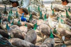 Moltitudini di pavone nell'azienda agricola di allevamento Una moltitudine di peafow indiano Immagine Stock