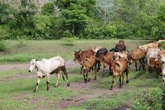 Molto bestiame, mucca, passeggiata dell'Asia delle mandrie di mucche nella campagna dell'azienda agricola della foresta Fotografia Stock Libera da Diritti