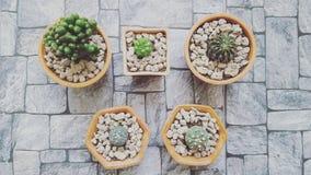 Molto cactus Fotografia Stock