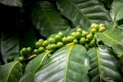 Molto caffè fresco sulla pianta con le foglie verdi Fotografia Stock