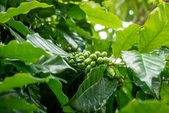 Molto caffè fresco sulla pianta con leaves1 verde Fotografia Stock