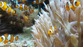 Molto Clownfish e mare Anemone Partnership archivi video