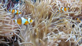 Molto Clownfish e mare Anemone Partnership stock footage